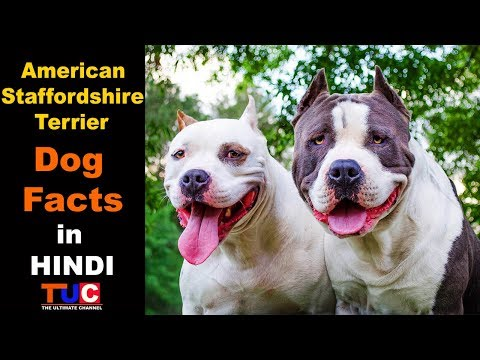 American Staffordshire Terrier Dog Facts in HINDI : TUC