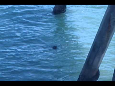 Crabbing pacifica pier 5 6 12 youtube for Pacifica pier fishing report