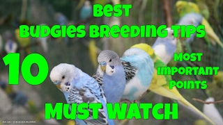 Best Budgies Breeding Tips   10 Most Important Points In Detail   Complete Guidelines   Urdu/Hindi