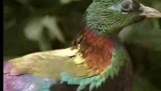 Male birds show off their beauty to attract females - David Attenborough  - BBC wildlife