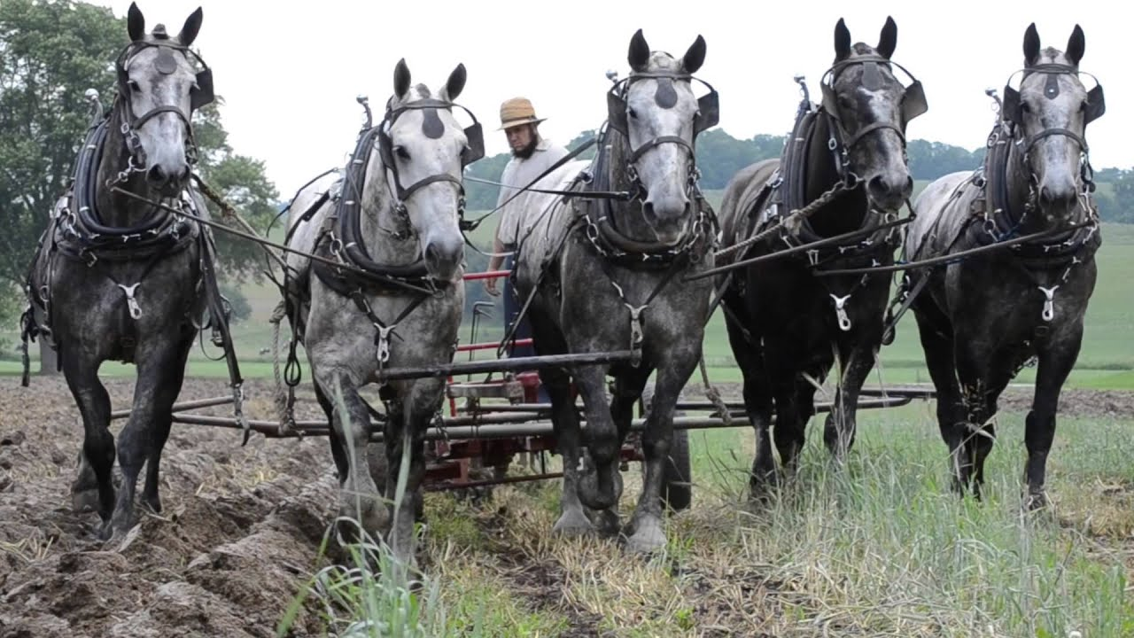 Percheron Horses Plowing Spring 2014 Youtube