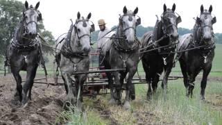 Percheron Horses Plowing Spring 2014