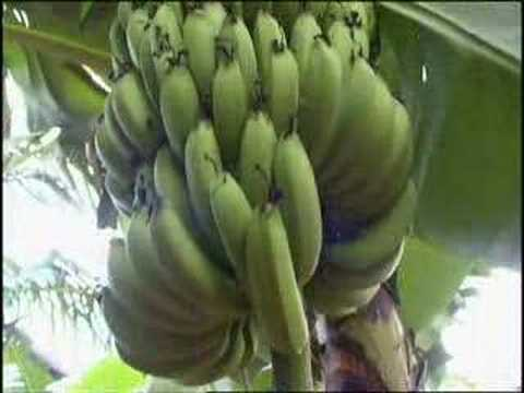 Bananas for Export