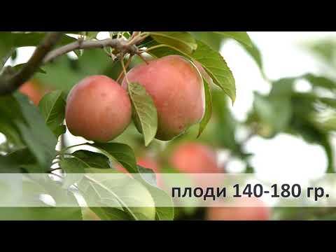 глостер зимний сорт яблони