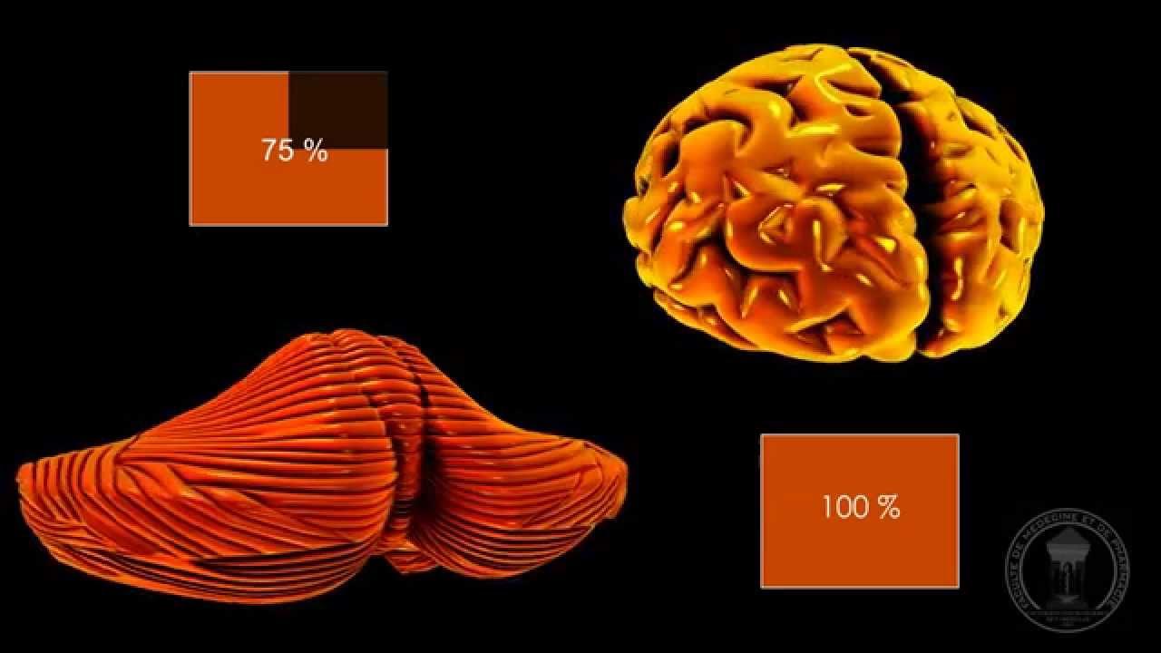 Neuroanatomy - The Cerebellum - YouTube