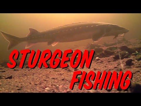 Sturgeon Fishing New Brunswick Canada 2019-Underwater Views!