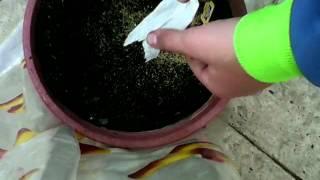 Manzanilla como sembrar manzanilla de infusion