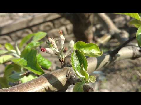 Партенокарпичная яблоня Матрёшка. Плоды завязываются без цветения! Отзыв от питомника Макси Сад.