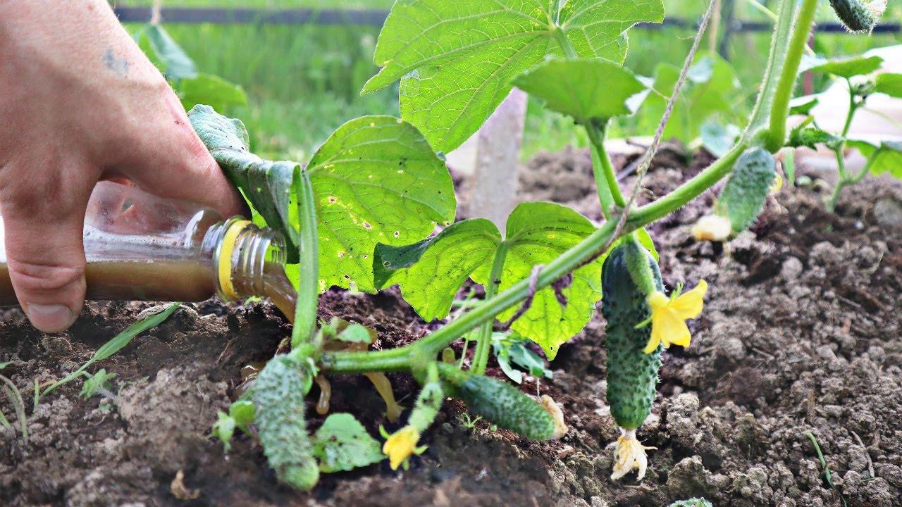 10 таких  кустов заменяют целую огуречную плантацию! Посадите в апреле этот сорт огурцов Огурцы Атос