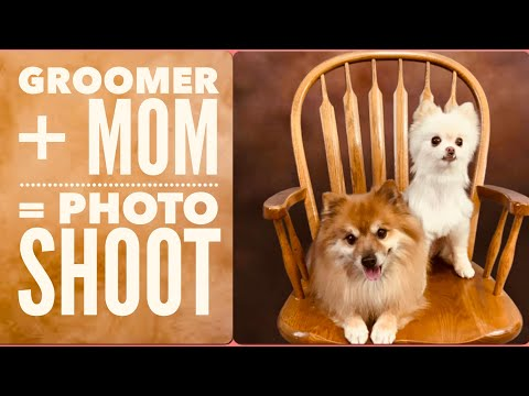 Pomeranian's Grooming Prompts a Dog PhotoShoot