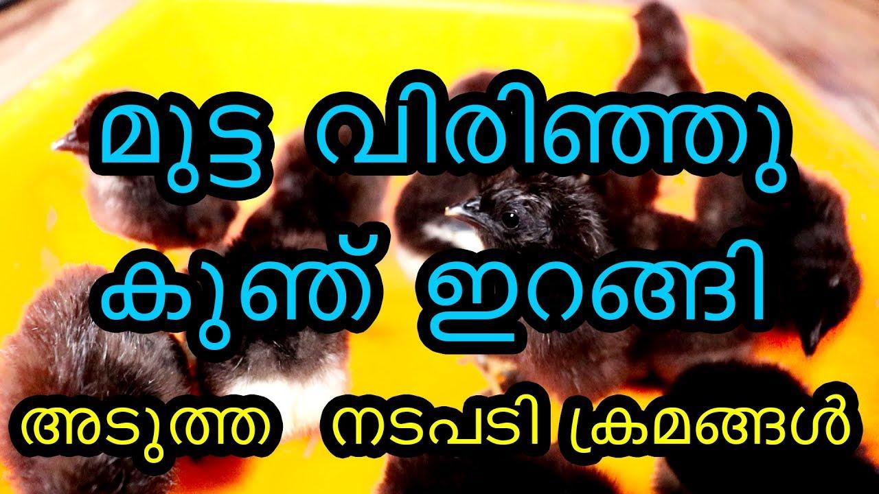 Download മുട്ടകൾ വിരിഞ്ഞു അടുത്ത  നടപടി ക്രമങ്ങൾ karimkozhi egg hatched & brooding karikozhi black hen