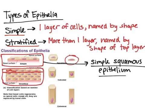 Types of Epithelial Tissue - YouTube