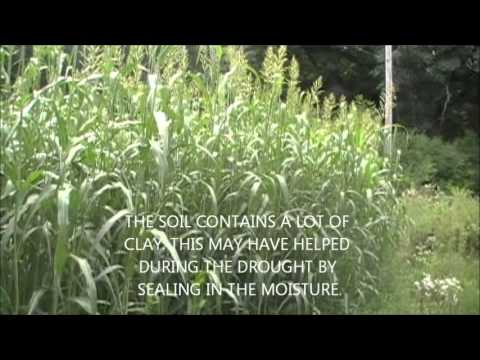 Sorghum Sudan as a Screen for Foodplots