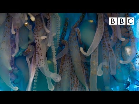 The Deadly Tentacles Of The Portuguese Man O' War | Blue Planet II - BBC One