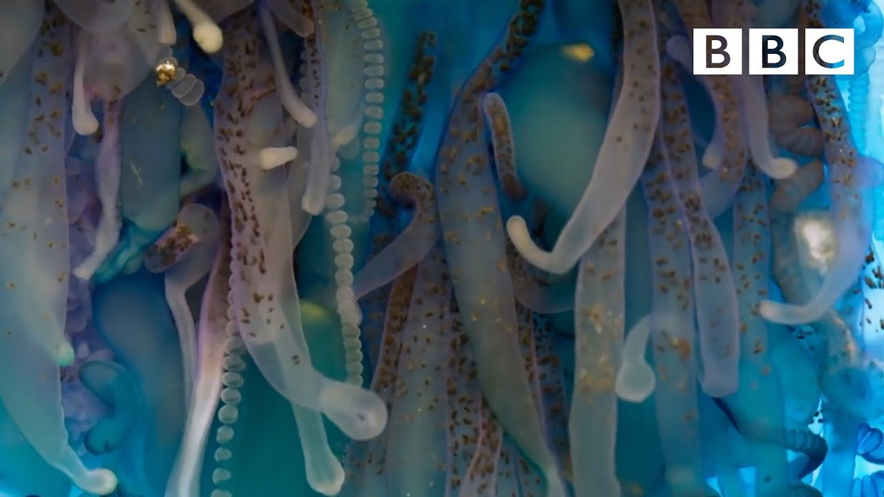 The deadly tentacles of the Portuguese man o' war - Blue Planet II: Episode 4 Preview - BBC One
