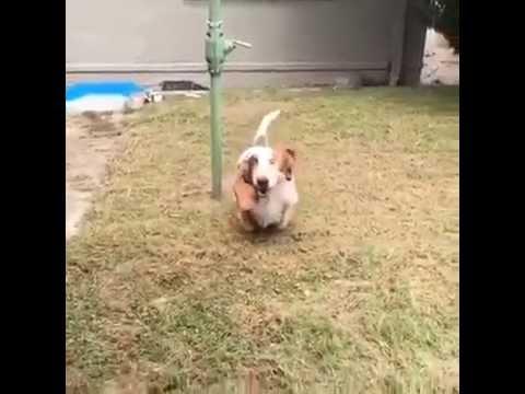 My basset hound running in Slow Motion
