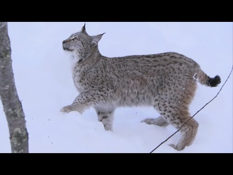 Incredible Jumping Lynx - Deadly 60 - Series 2 - BBC