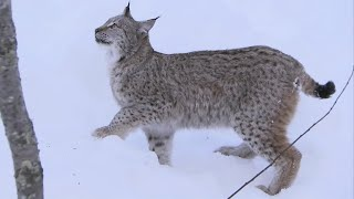 Incredible Jumping Lynx | Deadly 60 | Series 2 | BBC