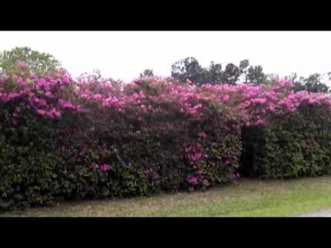 Azalea Privacy Fence Youtube