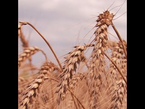 Scientists have created a genetically modified superwheat