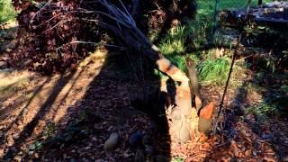 Beaver Cut the Trees Down