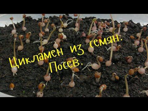Цикламен уход.(Cyclamen) .Цикламен из семян. Посев