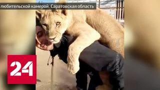 Борьба за львицу Майю вышла на новый уровень