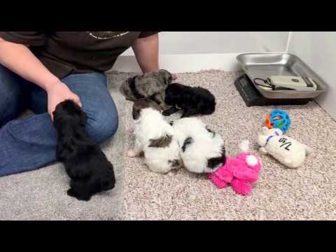 Missy's schnoodle puppies 4-24-17 just got their bath and face trimmed