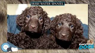 Irish Water Spaniel  Everything Dog Breeds