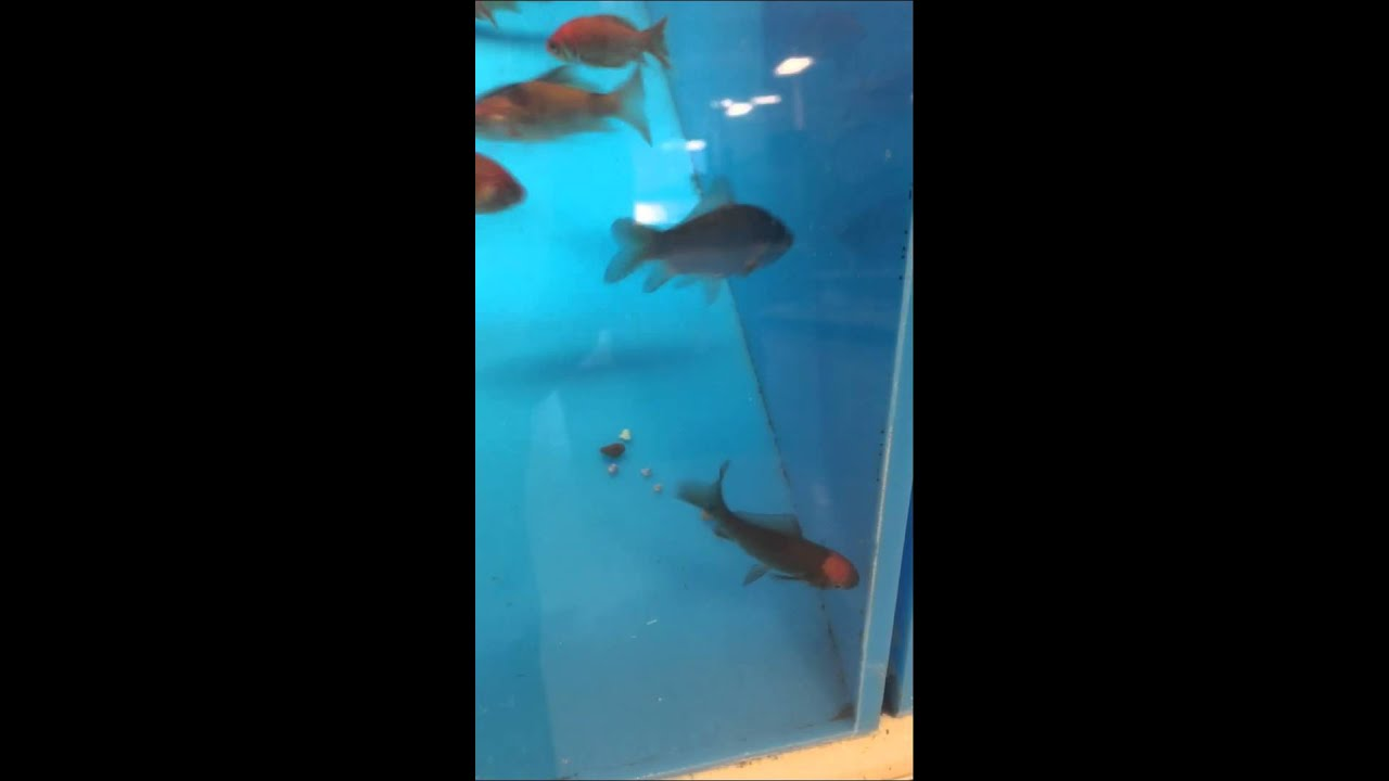 Picking out a feeder goldfish at petsmart part one youtube for Live feeder fish