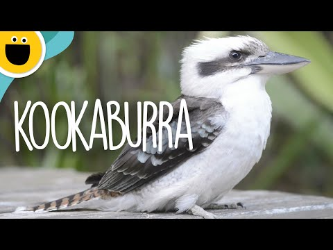 Laughing Kookaburra Song | Wild Clips (Sesame Studios)