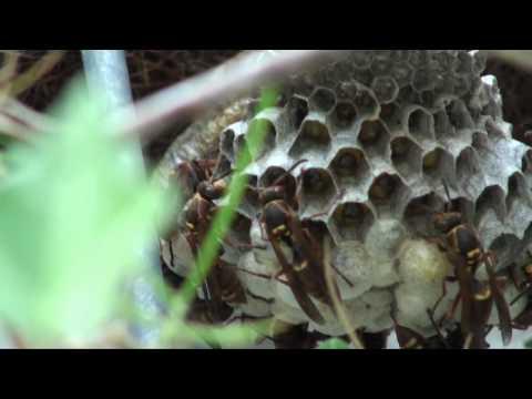 コアシナガバチ その2
