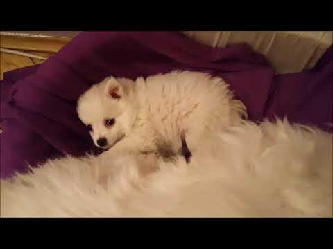 German Spitz: Hidden Puppy Lana