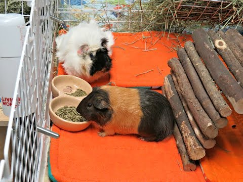 Pet Room Tour & C&C Cage Tours: 11 Guinea Pigs & 1 Rabbit