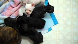 French Bulldog Puppies~3 9 11 Bella Pups.wmv