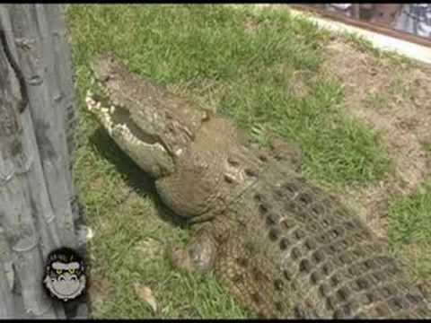 Mikey P. feeding a giant Crocodile