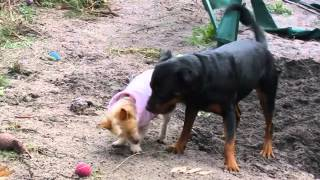 How A Rottweiler Really Plays With Other Dogs