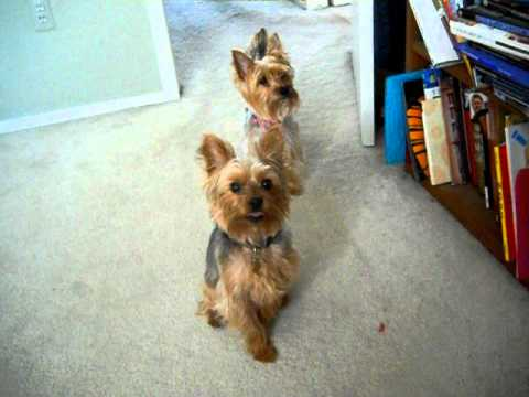 Yorkie Barking at barking dog on computer...Very cute!