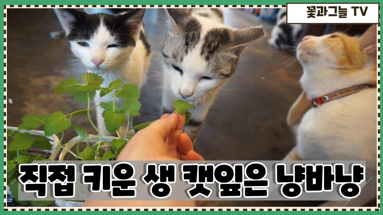 직접 키운 생 캣닢(캣잎)은 마당냥이 먹을까?