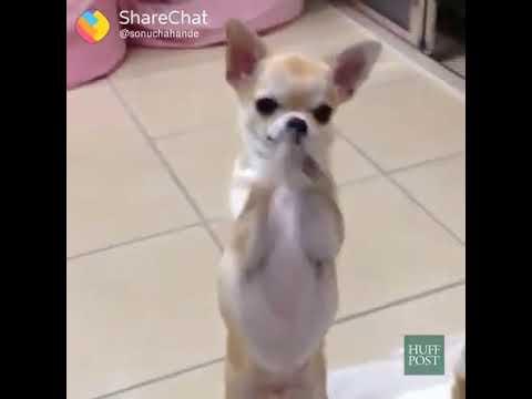 Ye pan wala babu animal mix