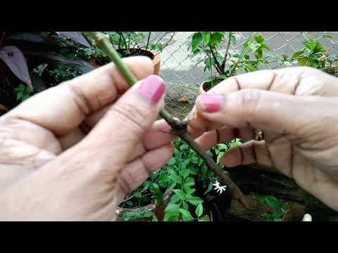 जाई! जाईची लागवड & मशागत (मराठी) How to grow jai.