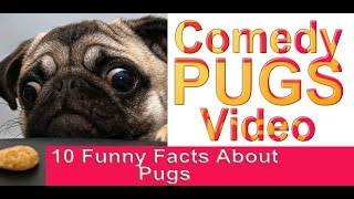 Pugs Video:  Animals Make Us Laugh - 10 Funny Facts About Pugs