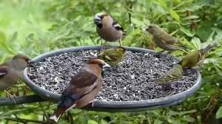 Pt ci na krm tku Birds feeding on Bird Table
