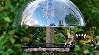 Goldfinch Squabble At The Dome Bird Feeder