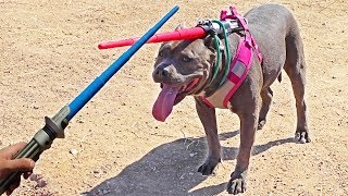 my-pitbull-challenged-me-to-a-lightsaber-battle