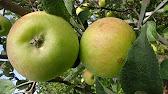 Анто́новка — сортотип яблони, часто описывается, как сорт «антоновка обыкновенная». Сорт народной селекции. Регистрационное название: антоновка обыкновенная. На государственном испытании с 1939 года. Включён в государственный реестр в 1947 году по северо-западному ( вологодская.