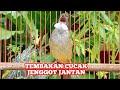 Masteran Cucak Jenggot Betina Beset Ngepik Ngerol Rapat Kicau Pidong  Mp3 - Mp4 Download
