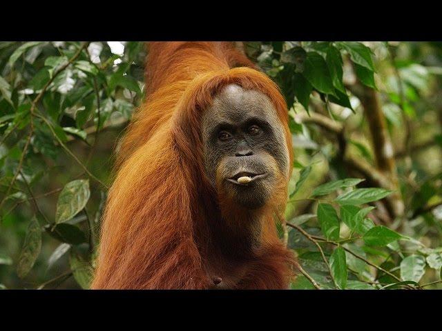 Orangutan National Geographic Documentary HD