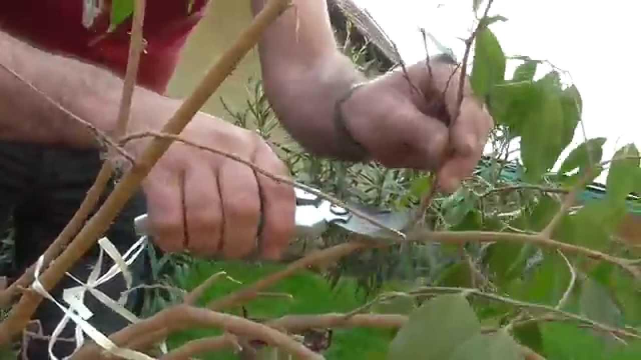 paraziták fikusz kezelése)