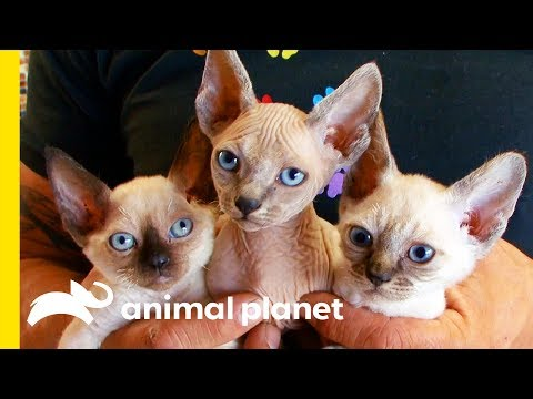 This Cat Breed Looks Like A Kitten For Its Whole Life! | Cats 101